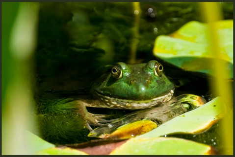 frog_lily_pond